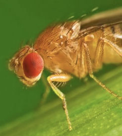 pests_fruitfly